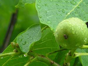 green walnut in the rain